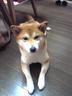 柴犬さんの画像