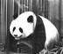 上野のパンダさんの画像