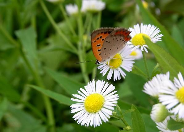 ハルジオンと蝶2.jpg