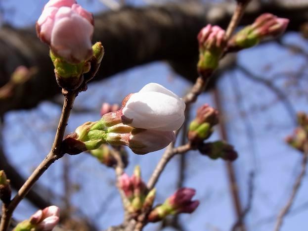 桜咲く2.jpg