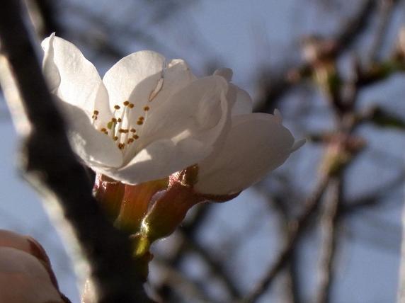 桜咲く4.jpg