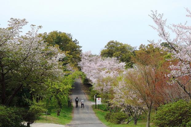 鏡山の桜11.jpg