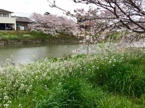 someiyoshino3.jpg