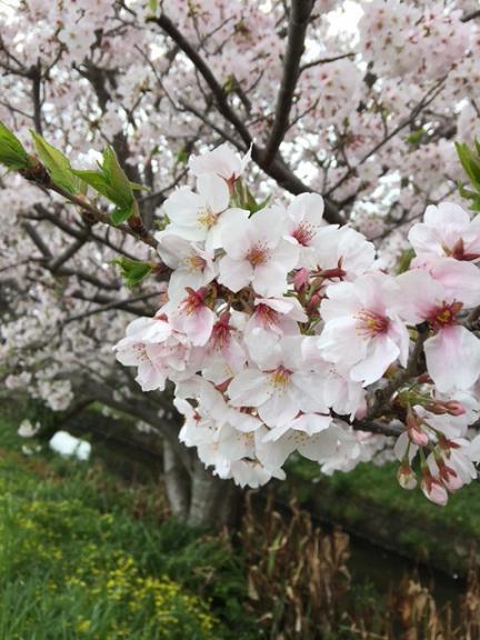 someiyoshino5.JPG