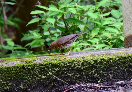 クロツグミ雌1606ab.jpg
