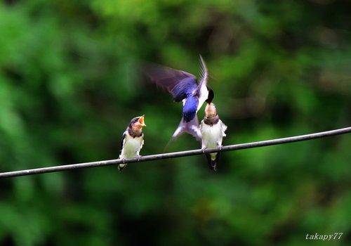 ツバメ幼鳥1606ac.jpg
