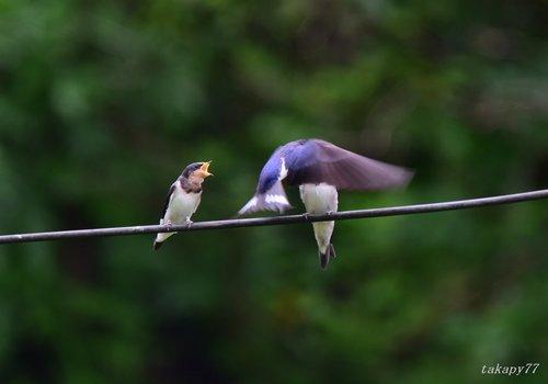 ツバメ幼鳥1606ae.jpg