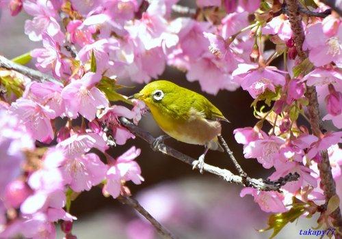 メジロ桜1702ab.jpg