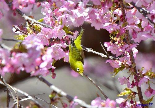 メジロ桜1702ad.jpg