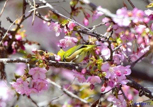 メジロ桜1702ae.jpg
