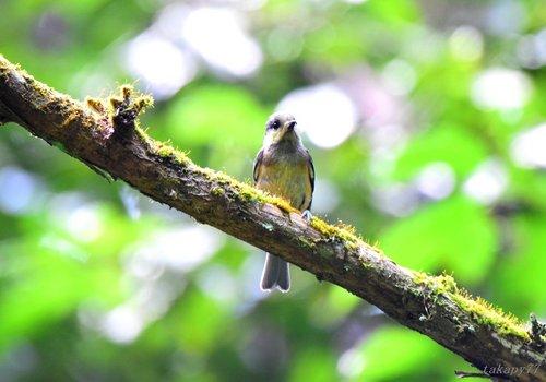 ヤマガラ幼鳥1606aa.jpg