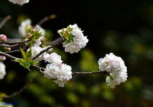 八重桜(白妙)1704ba.jpg
