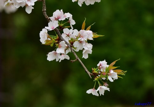 枝垂桜1704aa.jpg