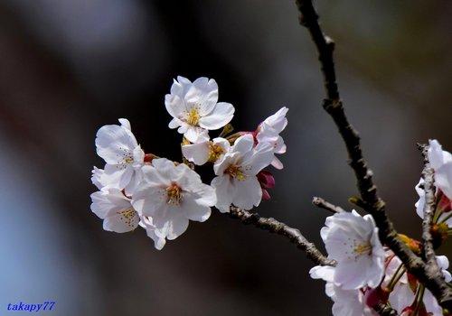 桜1704ac.jpg