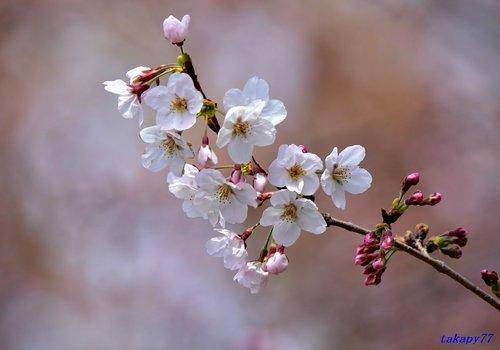 桜1704ad.jpg