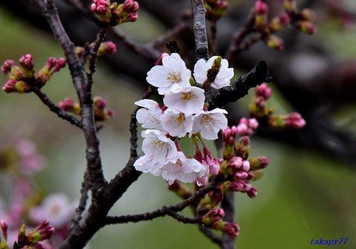 桜1704ba.jpg