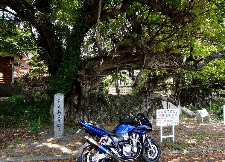 36 あこうの樹.JPG