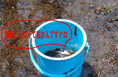5 雑魚も混じってるけど鮎です.jpg