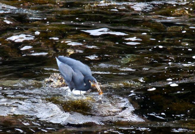 メバルみたいな魚を捕まえた.JPG