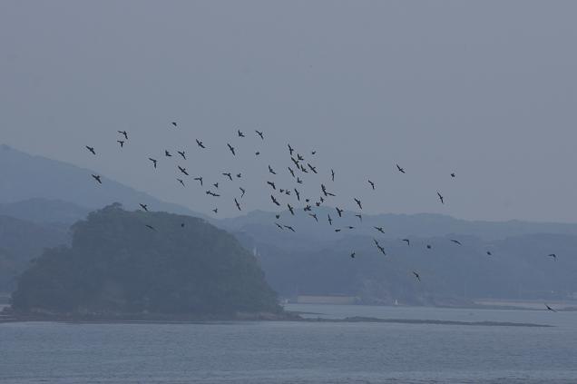 角島にもヒヨに群れがいました.JPG