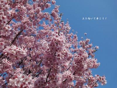 1104sakura02.jpg