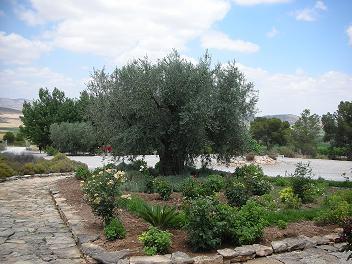エルミータ オリーブの木.JPG