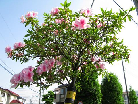 001-120507-tsutsuji480.jpg