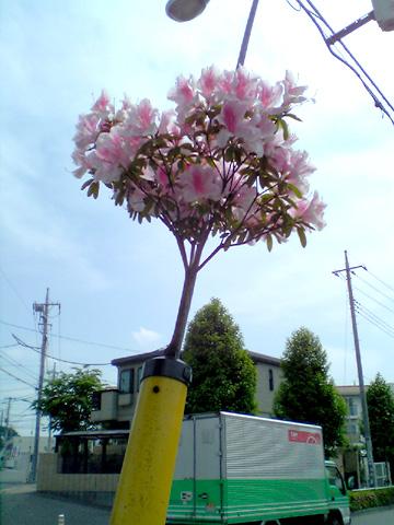 005-050509-tsutsuji480.jpg