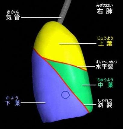 肺右側面.jpg