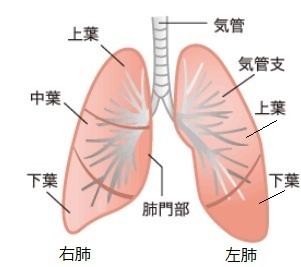 肺正面図.jpg