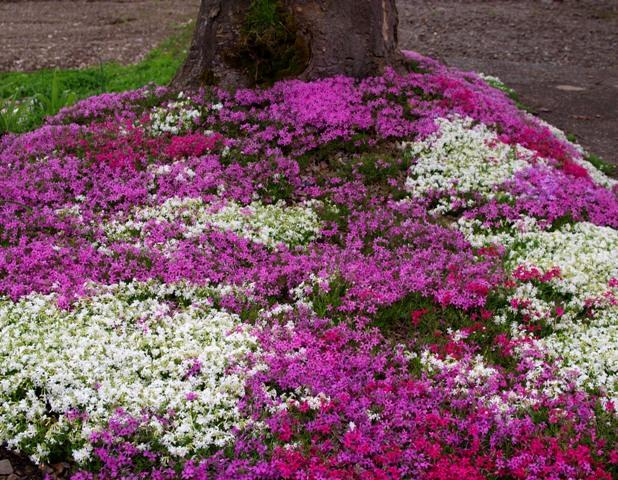姫川 芝桜3.jpg