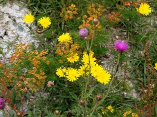 高山植物6.jpg