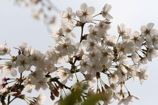 桜―10.jpg