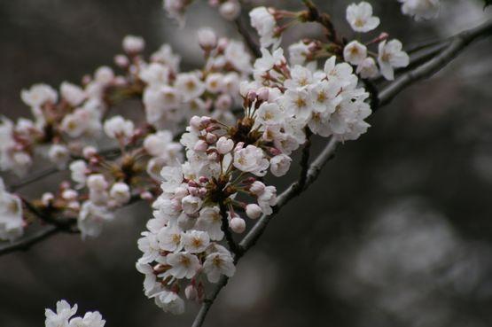桜―5.jpg