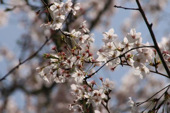 桜―8.jpg