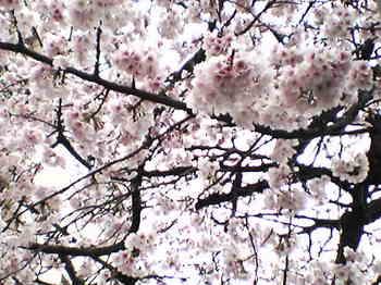 寒桜2.jpg