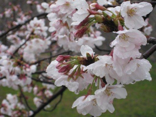 2009_0404_sakura (4).jpg