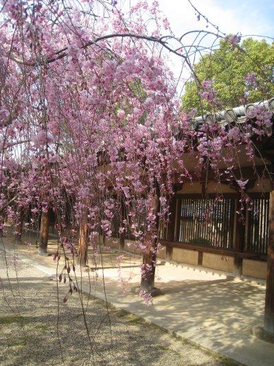 2011_0410_sakura (25).jpg