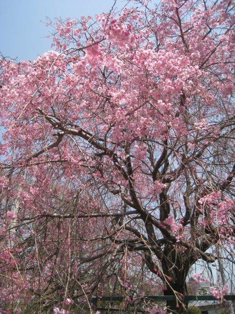 2011_0410_sakura (3).jpg