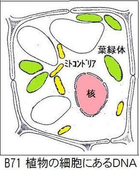 B71 細胞DNA.jpg