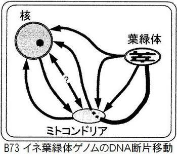 B73緑体転移.jpg