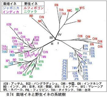 B74 イネ系統樹.jpg