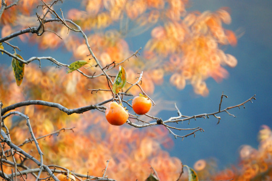 柿と紅葉♪.jpg