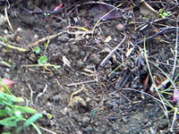 ヤマブキの種4個植える.jpg