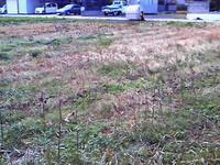 2012.12.09の綿畑.jpg