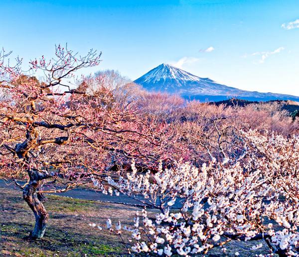岩本山公園 梅と富士 10020616-Edit.jpg