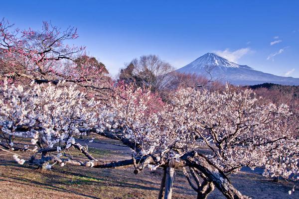 岩本山公園 梅と富士 10020621.jpg