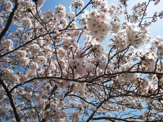 2011桜1.jpg