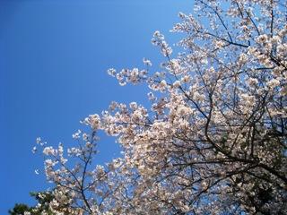 桜4月3日.jpg