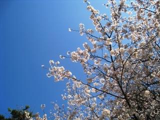 桜4月3日1.jpg